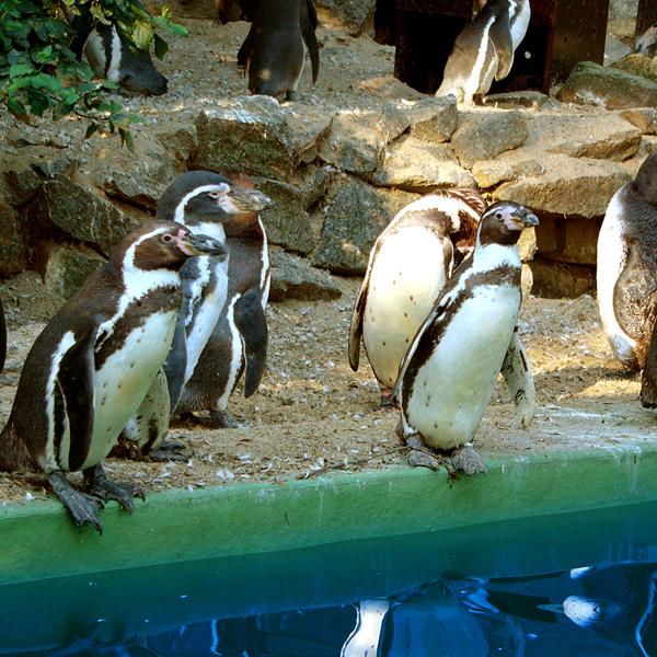 humboldt-pinguine-m.jpg